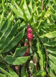 native ginger plant awapuhi shampoo ginger hawaii horticulture