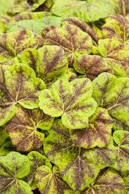 buy native plants 159 best perennials images on pinterest garden plants flower