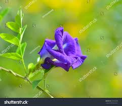 blue pea blue vine butterfly pea stock photo 225102220 shutterstock