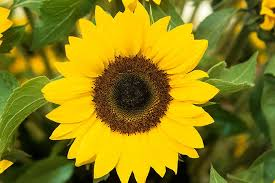sunflower pictures plants for kids sunflowers rhs gardening