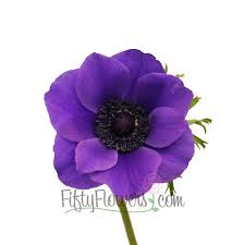 anemone flowers violet anemone flower may to september delivery