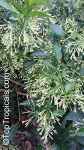Fragrant Night Blooming Plants - cestrum nocturnum night blooming jasmine queen of the night