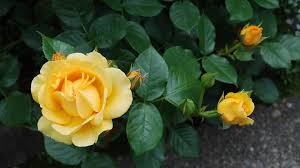 flower roses yellow nature lovely beautiful hd