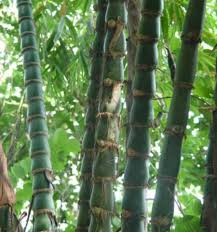 the craze for ornamental bamboo bamboo growing in the philippines