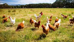 Can You Have Chickens In Your Backyard An Egg A Day Is The Reward For Keeping A Hen In Your Backyard