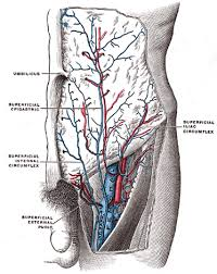 Human Belly Anatomy The Veins Of The Lower Extremity Abdomen And Pelvis Human Anatomy