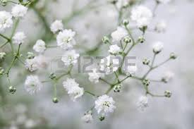 baby s breath baby s breath stock photos royalty free business images