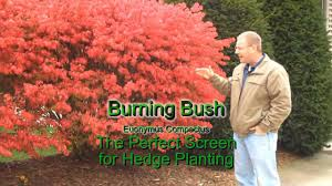 native plants for hedging burning bush euonymus fast growing hedge plant youtube