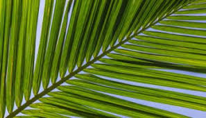 where to buy palms for palm sunday the lesson of palm sunday shepherd press