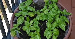 basilico in vaso malattie come coltivare il basilico sul balcone e farlo durare più a lungo