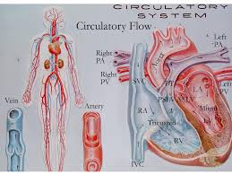 69 best poster of circulatory system cardiovascular system images