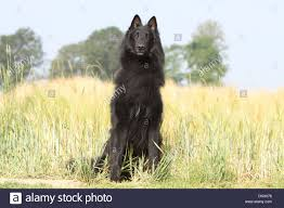 belgian sheepdog groenendael breeder dog belgian shepherd groenendael sitting in a field stock