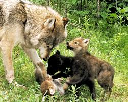 gray wolf with cubs photograph by larry allan