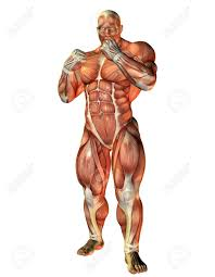 Human Anatomy Diagram Download Muscle Anatomy Free Download Tag Muscle Anatomy 3d Free Download