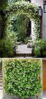 best 25 jasmine plant ideas on pinterest jasmine plant indoor