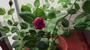 Indoor Fragrant Plants Growing Roses Indoors Youtube