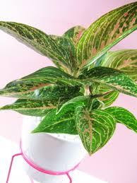 aglaonema plant profile aglaonema u2013 chinese lucky plant lucky plant