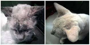 Salep Vco solusi alami mengatasi kucing jamuran hanyakori
