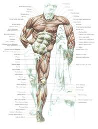 Human Anatomy Reference 106 Best Figure Anatomy Images On Pinterest Anatomy Reference