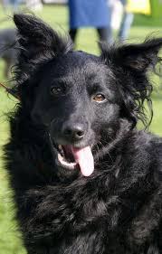 dog barn 50 best croatian sheepdog images on pinterest shepherd dog dog