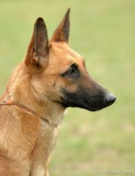 belgian sheepdog dogs 101 index of dog breeds belgian malinois images full