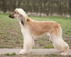afghan hound long haired dogs afghan hound dogexpress