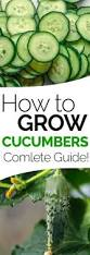best 25 how to plant cucumbers ideas on pinterest cucumber