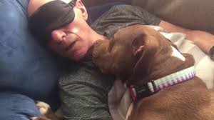 american pitbull terrier uk law sir patrick stewart rages over uk dog laws nature news