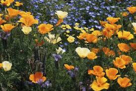 Weather Zones For Gardening - how much sun does a poppy plant need home guides sf gate