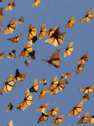 scientists secrets of the monarch butterfly u0027s internal