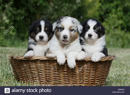 australian shepherd puppy 4 months dog australian shepherd aussie two puppies different colors