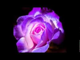 purple roses purple roses purple roses and flower fairies