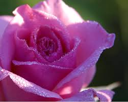shades of purples purple roses meaning of roses