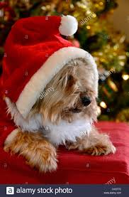 a cute yorkshire terrier in a father christmas stock photo