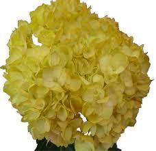 bulk hydrangeas yellow hydrangeas order bulk yellow hydrangea flowers online