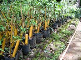 propagate bamboo gardens propagation and plants