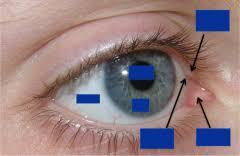 Surface Anatomy Eye Anatomy Non Dissecting Session H Skull U0026 Eye Cont Flashcards