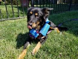 1 year old toy australian shepherd spur central aussie rescue and support
