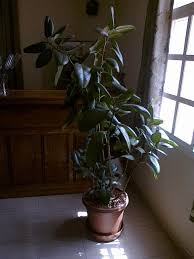most common sorts of tall indoor plants that you simply will use