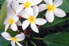 plumeria flower what are named varieties of plumeria home guides sf gate