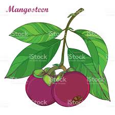 lychee fruit drawing vector branch with purple mangosteen or garcinia fruit and leaf