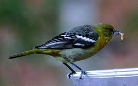 attracting orioles to bird feeders the zen birdfeeder