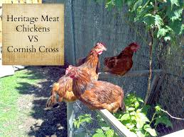Chickens For Backyard Are Heritage Meat Chicken Breeds The Best Farming My Backyard