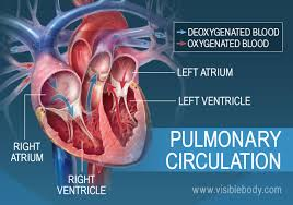 Anatomy Of The Heart And Its Functions Circulatory Pulmonary U0026 Systemic Circulation