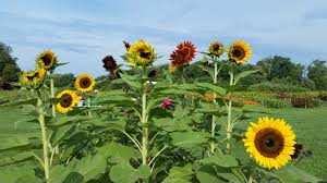 how to grow sunflowers with small or big blooms