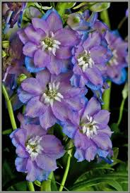 delphinium flower mic uk a up view of the hybrid delphinium guardian blue