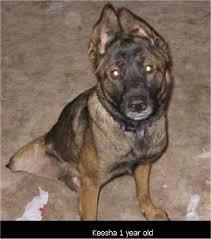 belgian malinois photos belgian malinois dog breed pictures