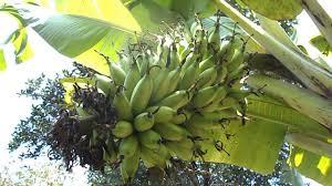 Tiny Banana Lady Finger Banana Tree Small Green Healthy Banana Fruit To