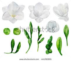 wedding flowers clipart white freesia flowers clipart watercolor wedding stock