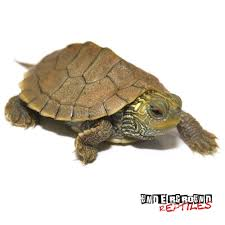 map turtle baby geographic map turtles for sale reptiles